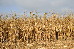 Kukurydzany pole przygotowywający dla żniwa Zdjęcia Royalty Free
