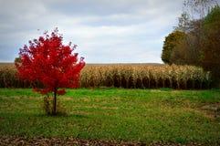 Kukurydzany pole, spadków kolory Fotografia Royalty Free