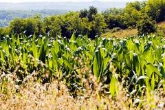 Kukurydzany pole wśród rośliien Obrazy Stock