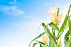 Kukurydzany pole w jasnym dniu Zdjęcia Stock