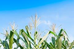 Kukurydzany pole w jasnym dniu, Kukurydzany drzewo przy rolną ziemią Obrazy Royalty Free