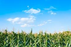 Kukurydzany pole w jasnym dniu, Kukurydzany drzewo przy rolną ziemią Zdjęcia Royalty Free