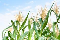 Kukurydzany pole w jasnym dniu, kukurydzany drzewo z błękitnym chmurnym niebem Zdjęcia Royalty Free