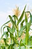 Kukurydzany pole w jasnym dniu, kukurydzany drzewo z błękitnym chmurnym niebem Fotografia Royalty Free