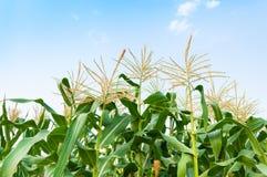 Kukurydzany pole w jasnym dniu, kukurydzany drzewo z błękitnym chmurnym niebem Zdjęcie Stock