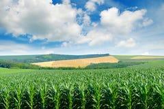Kukurydzany pole w malowniczym bielu i wzgórzach chmurnieje Fotografia Royalty Free