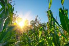 Kukurydzany pole w ranku Obraz Royalty Free