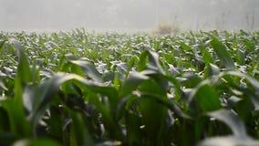 Kukurydzany pole w ranku materiału filmowego wideo Szybki poruszający scnene zbiory