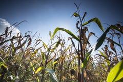Kukurydzany pole z dramatycznym niebem Zdjęcie Stock