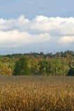 Kukurydzany pole w jesieni Zdjęcia Royalty Free