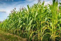Kukurydzany pole z nieba tłem Fotografia Stock