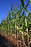 Kukurydzany pole - zakończenie obraz royalty free