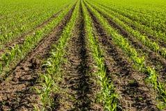 Kukurydzany pole - Zamyka strzał fotografia stock