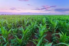 Kukurydzany pole zaraz po zmierzchem fotografia royalty free