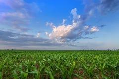 Kukurydzany pole zaraz po zmierzchem obrazy stock