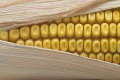 kukurydzany przedpole Obrazy Stock