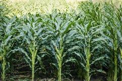 Kukurydzany rolnictwo Zdjęcia Royalty Free