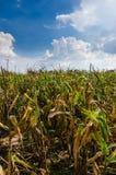 Kukurydzany rolny pole Zdjęcia Royalty Free