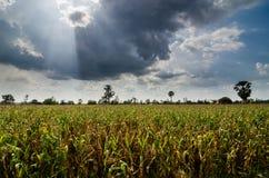 Kukurydzany rolny pole Obrazy Stock