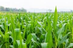 Kukurydzany rolny pole w Thailand Zdjęcie Stock