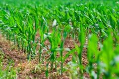 kukurydzany rząd fotografia royalty free
