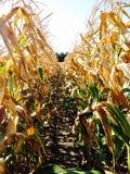 kukurydzany rząd Obrazy Stock