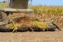 Kukurydzany syndykat Zdjęcie Royalty Free