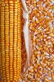 kukurydzany ucho Zdjęcie Royalty Free