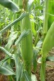 Kukurydzany ucho na roślinie Obrazy Royalty Free