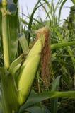 Kukurydzany ucho na roślinie Zdjęcie Royalty Free