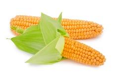 Kukurydzany ucho odizolowywający Zdjęcie Stock
