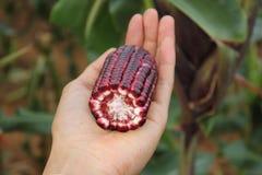 Kukurydzany ucho przekrojem poprzecznym kt?ry pokazuje kolory cob i nasiono na ludzkiej r?ce zdjęcia stock