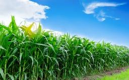 Kukurydzany uprawiać ziemię Zdjęcie Royalty Free