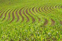 Kukurydzany uprawy pole fotografia stock