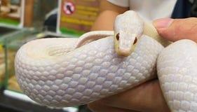 Kukurydzany wąż Kukurydzany wąż Na ręce Biały wąż zdjęcie royalty free
