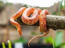 Kukurydzany wąż obrazy royalty free