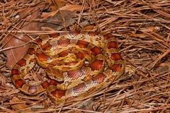 Kukurydzany wąż Fotografia Stock