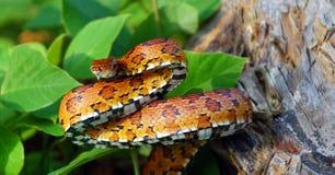 kukurydzany wschodni wąż Obrazy Royalty Free
