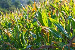 kukurydzany zamknięty kukurydzany pole Zdjęcie Royalty Free
