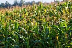 kukurydzany zamknięty kukurydzany pole Obraz Royalty Free