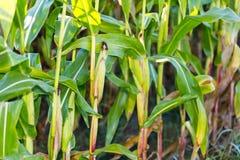 kukurydzany zamknięty kukurydzany pole Zdjęcia Stock