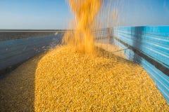 Kukurydzany zbierać Zdjęcie Royalty Free