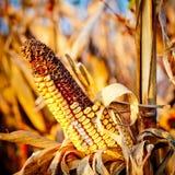 Kukurydzany zbliżenie na badylu Fotografia Royalty Free