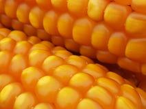 Kukurydzanych ucho Zamknięty Up zdjęcia royalty free