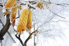 Kukurydze wiesza na drzewie z oszraniają Obraz Stock