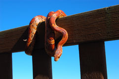 kukurydziany jest wąż Fotografia Royalty Free