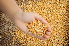 Kukurydzy adra w ręce Fotografia Stock