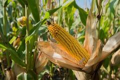 Kukurydzy cob z liśćmi zdjęcie stock
