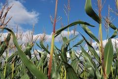 Kukurydzy niebieskie niebo w lecie i pole obrazy royalty free