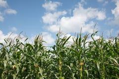 Kukurydzy pole Zdjęcia Stock